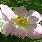 Wild rose flower by Ana Belaj