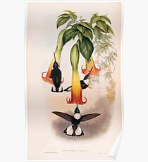 A monograph of the Trochilidæ or family of humming birds by John Gould 1861 V4 202 Poster