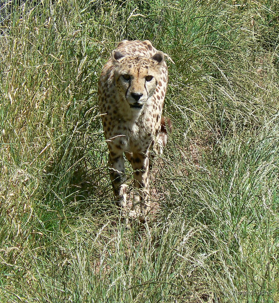 cheetah stalking by AngelaFoster