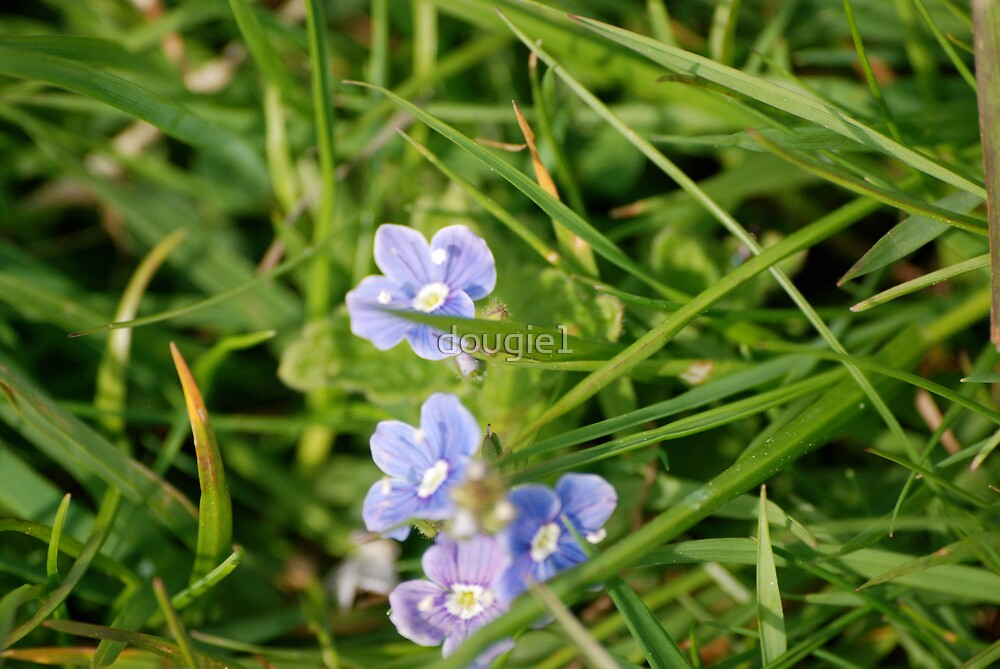 forget -me-not by dougie1
