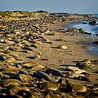 Piedras Blancas elephant seal rookery by Yukondick