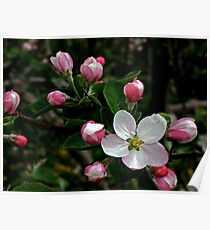 Apple Blossom Poster