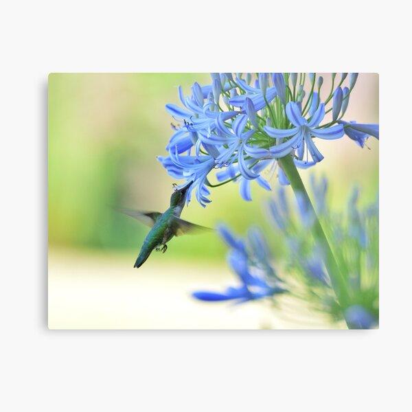 Hummingbirds love blue, too!! Metal Print