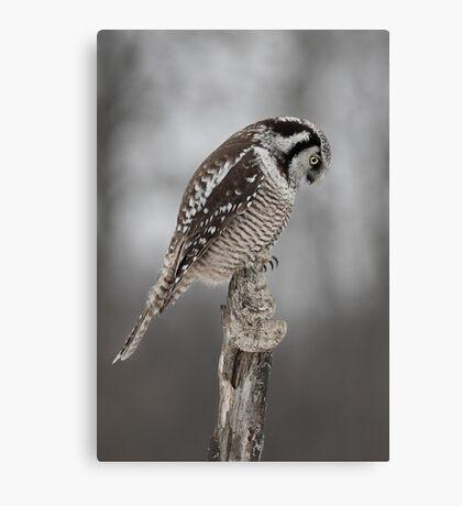 Northern Hawk Owl checks his claws Canvas Print