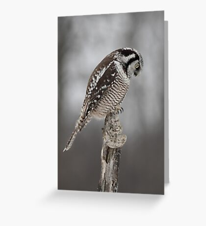 Northern Hawk Owl checks his claws Greeting Card