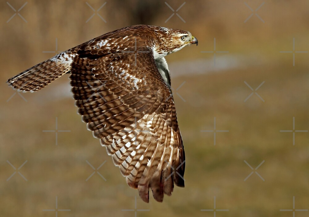 Red-tailed Hawk by Jim Cumming
