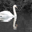 Swan by Daniel Knights