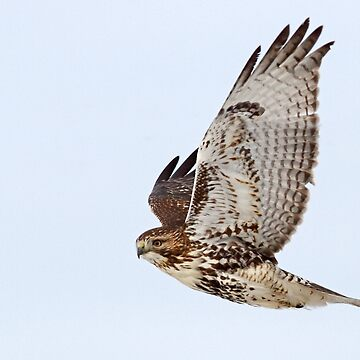 Red-tailed Hawk by darby8