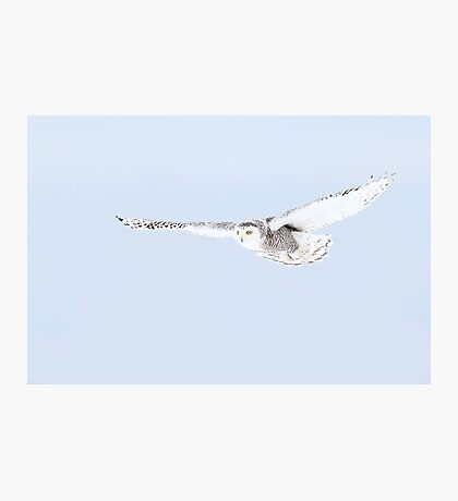Glider - Snowy Owl Photographic Print