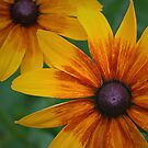 Echinacea Rust by jenndes