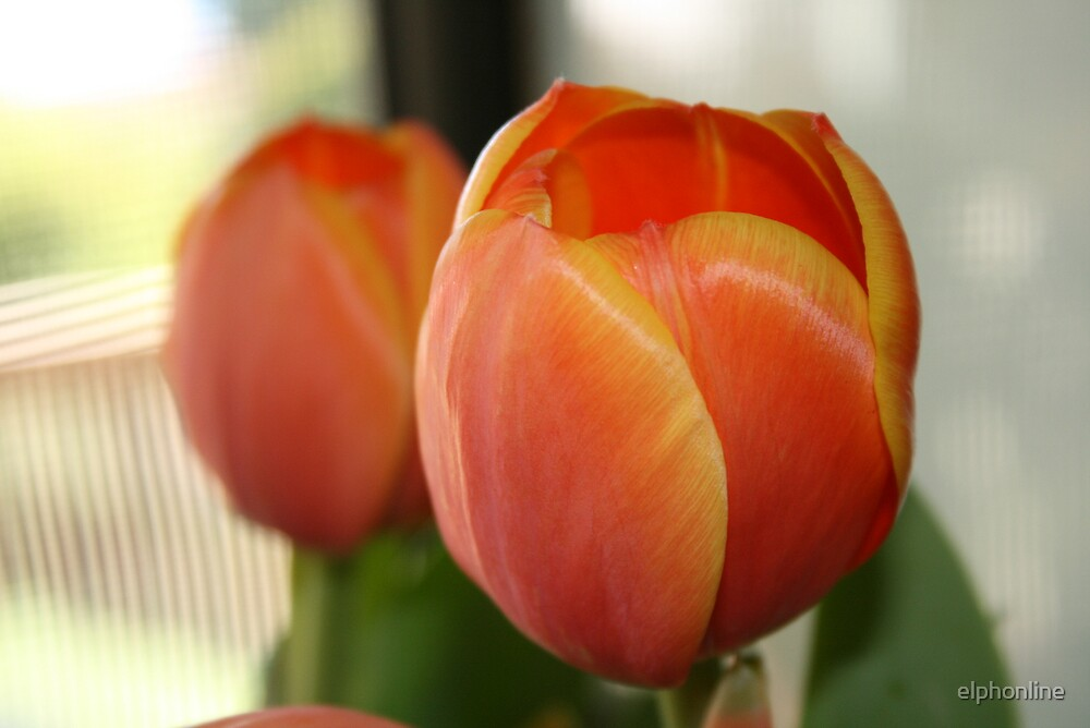 Tulips for you by elphonline
