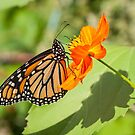 Monarch 2017-3 by Thomas Young