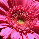 Pink Gerbera Daisy by jenndes