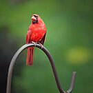 The Pensive Cardinal by jenndes