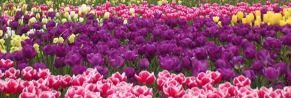 Tulips by Leila Kennett