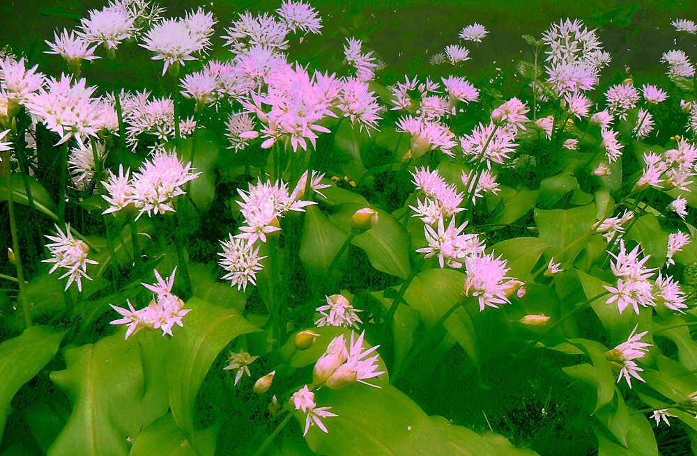 Wild Garlic. by mariarty