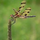 Dragonfly Scanning for the Kill by David Lamb