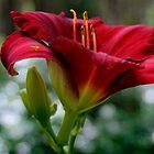 Daylily by T.J. Martin