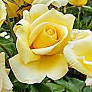 Yellow Roses by Ethna Gillespie