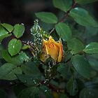Aphids on yellow rose bud Leith Park Victoria 20170518 0555  by Fred Mitchell