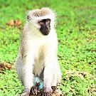 Vervet Monkey  by cs-cookie