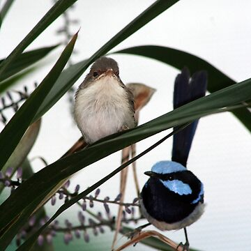 Blue Wren Pair by daverach1