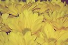 Texture of Yellow Daisies by lindsycarranza