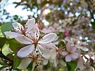 Pink Tree Blossoms by lindsycarranza
