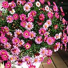 Bright Two Toned Daisies in a Pot. 'Arilka', Adelaide Hills.  by Rita Blom