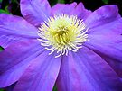Vibrant Clematis by lindsycarranza