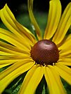 Yellow Coneflower by lindsycarranza