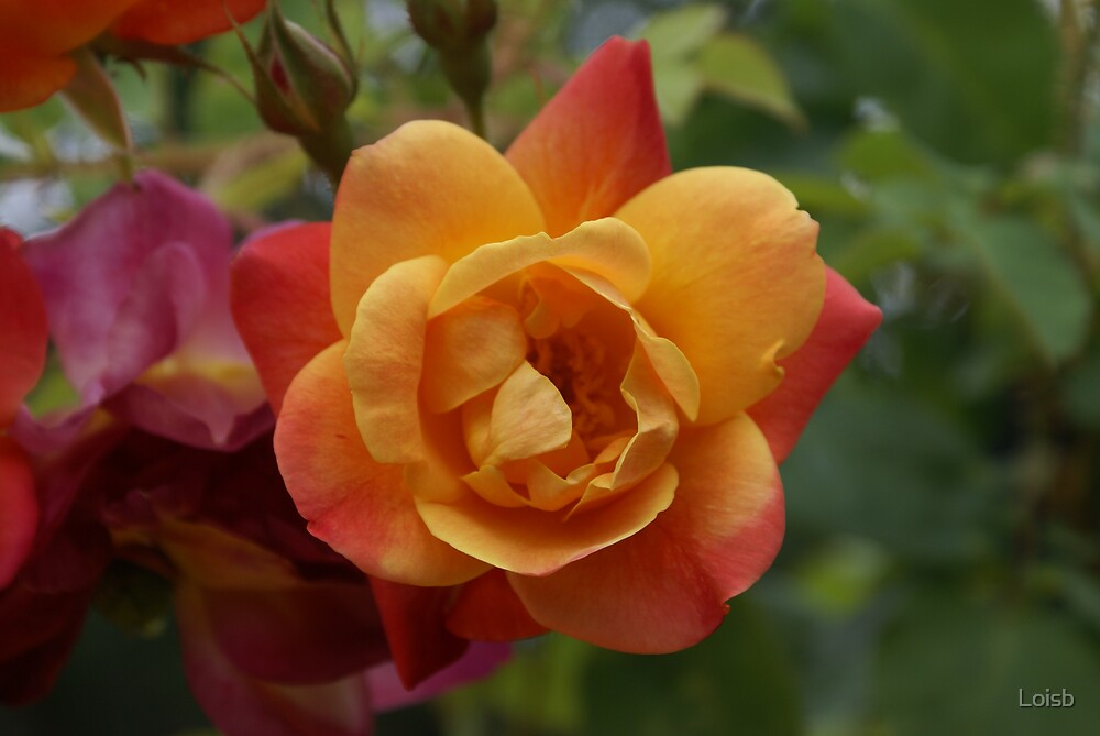 Orange Rose by Loisb