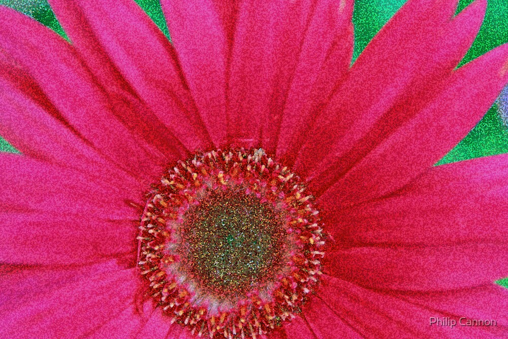 gerbera by Philip Cannon