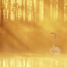 24.7.2017: Swan at Pond by Petri Volanen