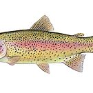 Rainbow Trout (Oncorhynchus mykiss) by Tamara Clark