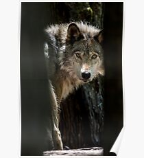 Wolf In Forest Poster