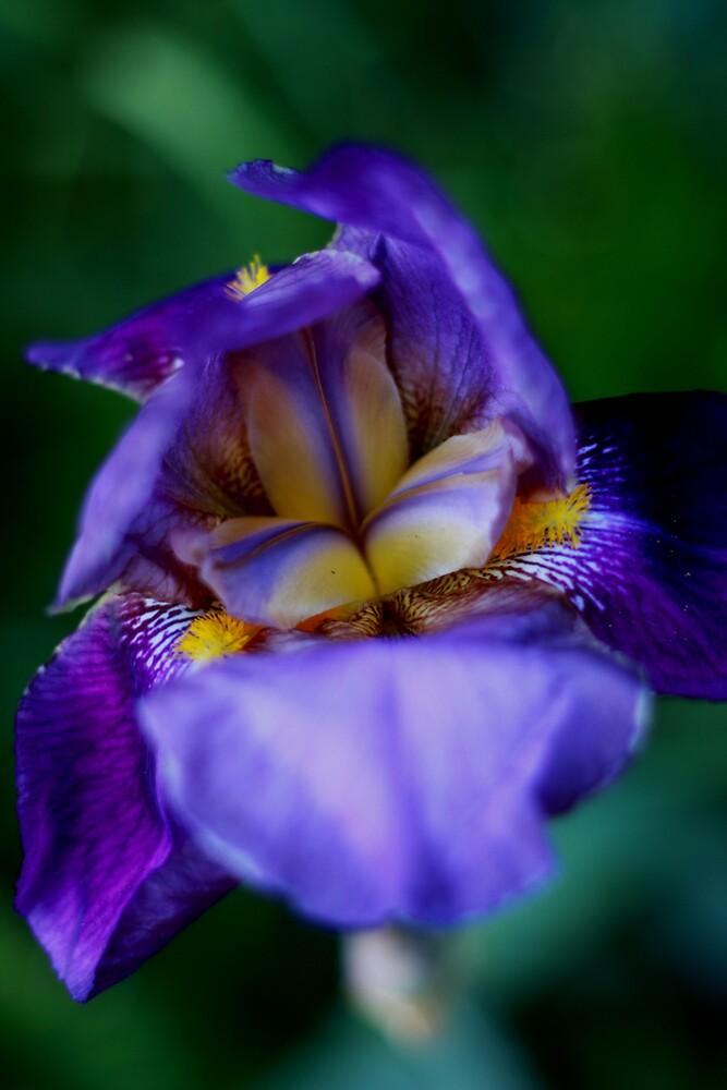 Tiger Iris by IanPharesPhoto