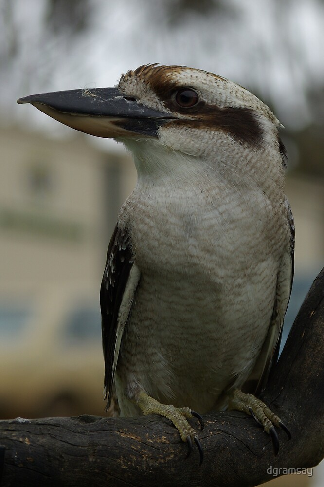 Laughing Kookaburra 1 by dgramsay