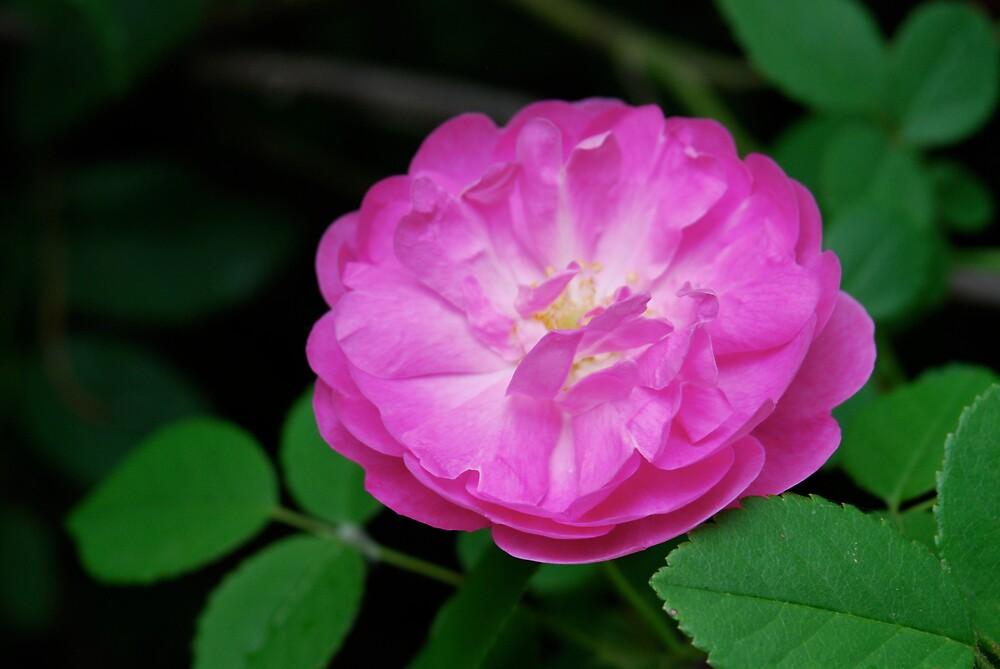 Wild Rose by Robert Baker