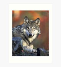 magnificent Wolf Picture Art Print