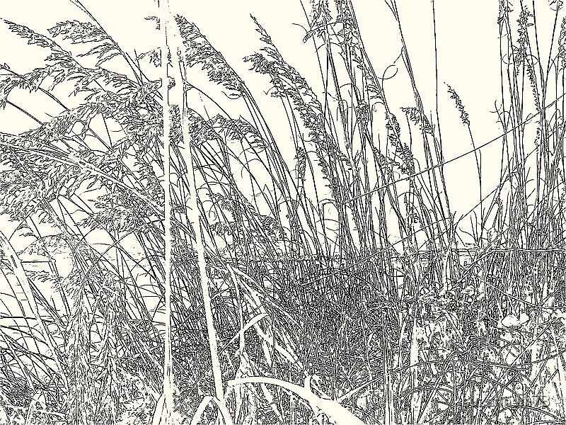 Sea Oats on the Dune by suzannem73