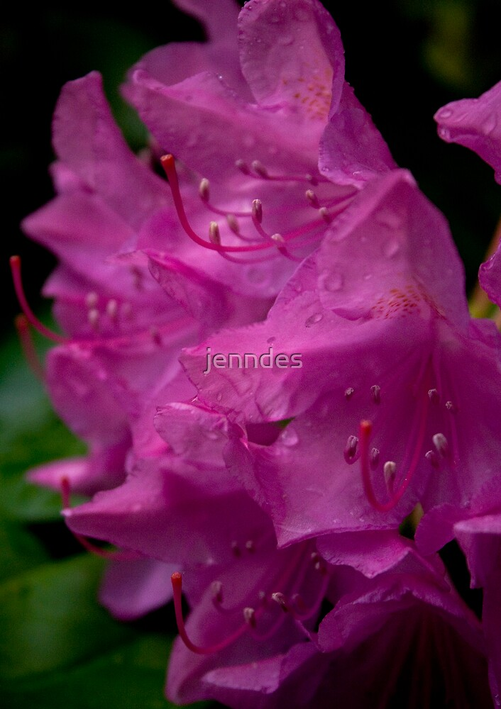 Pink Rhododendron by jenndes