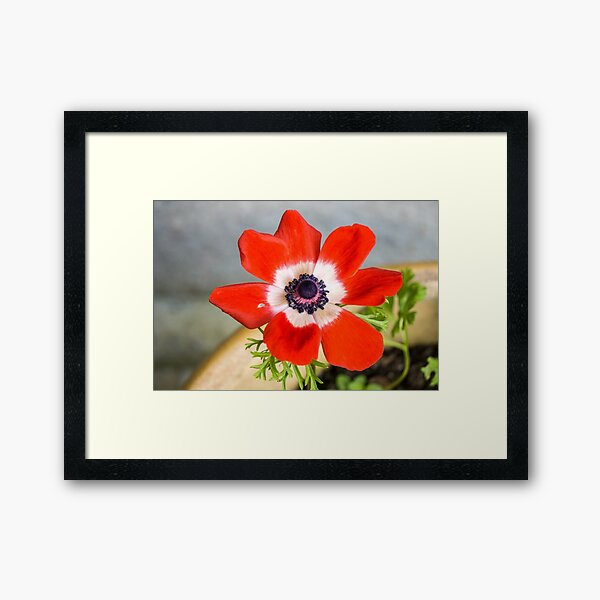 Anemone coronaria De Caen Framed Art Print