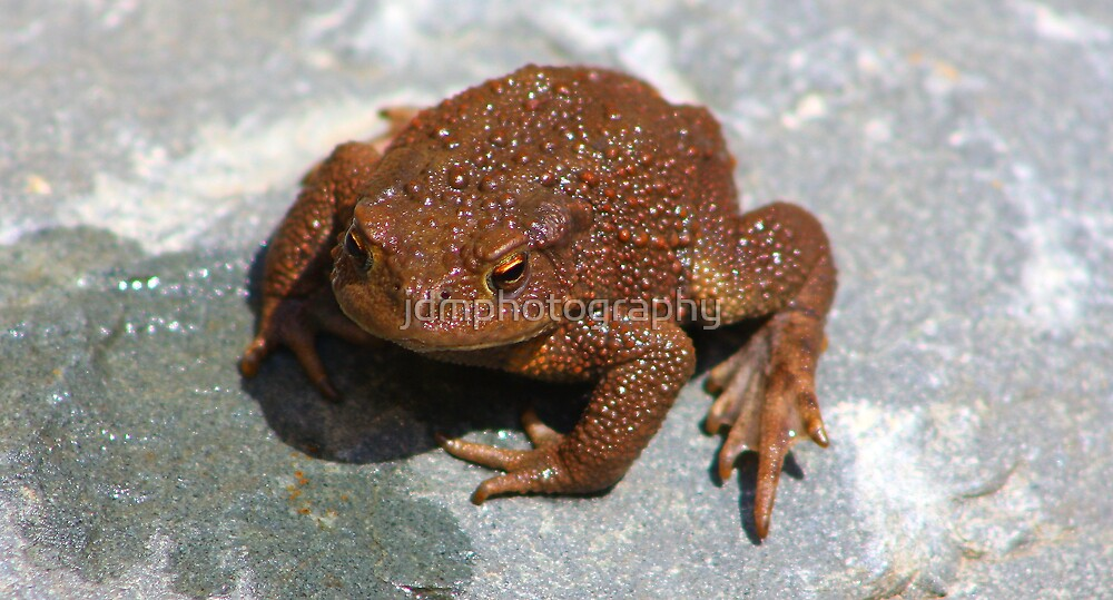 Common Toad (Bufo bufo) by jdmphotography