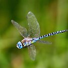 Southern Migrant Hawker male (Aeshna affinis) in flight by DragonflyHunter