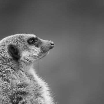 'We don't just sell Car Insurance you know...' - Meerkat on Patrol (ZSL Whipsnade) by PathfinderMedia