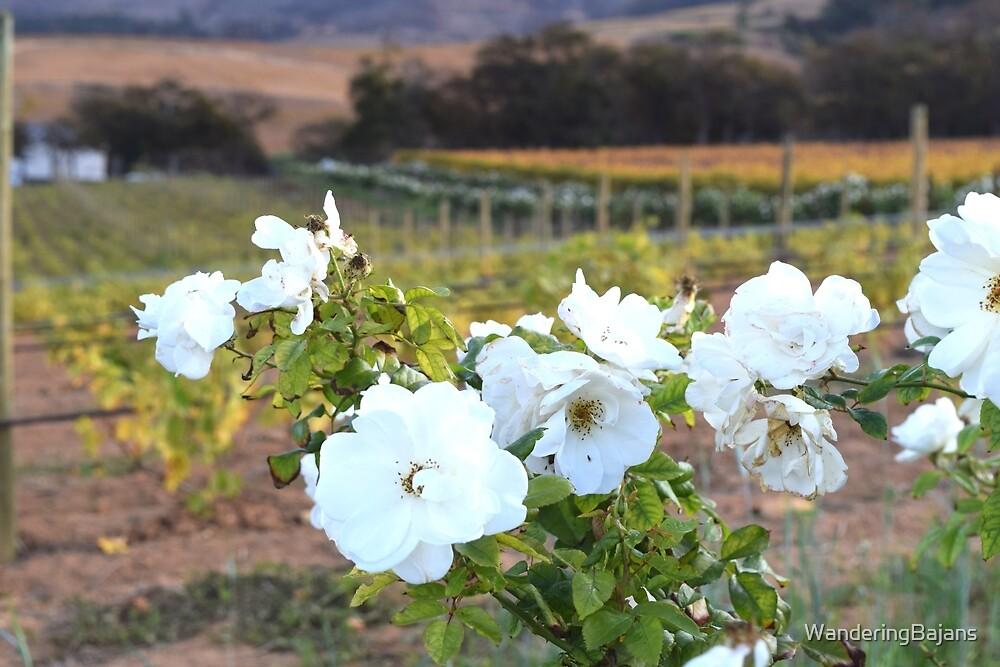 Vineyards of Cape Town by WanderingBajans