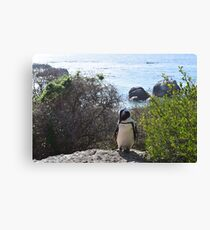 Boulders Beach Penguin Canvas Print