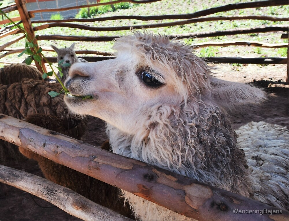 Alpaca in Peru by WanderingBajans