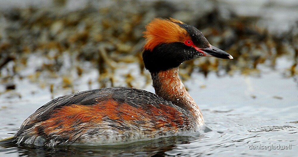 Slavonian Grebe by denisegladwell